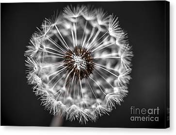 Dandelion Closeup Canvas Print by Elena Elisseeva