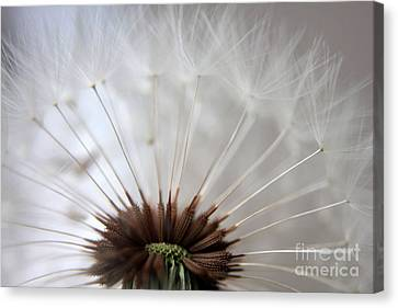 Dandelion Cross Section Canvas Print