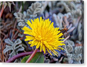 Dandelion Canvas Print by David  Hollingworth