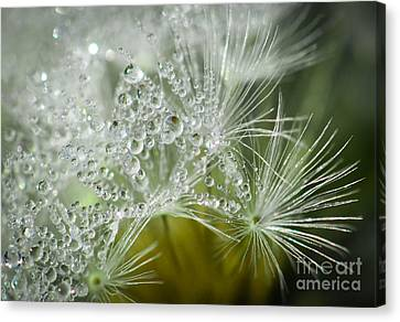 Dandelion Dew Canvas Print