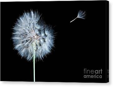 Dandelion Dreams Canvas Print by Cindy Singleton