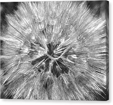Dandelion Fireworks In Black And White Canvas Print by Rona Black