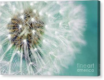 Dandelion Fluffy Seeds Over Blue Canvas Print