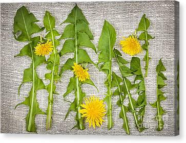 Dandelion Greens And Flowers Canvas Print by Elena Elisseeva
