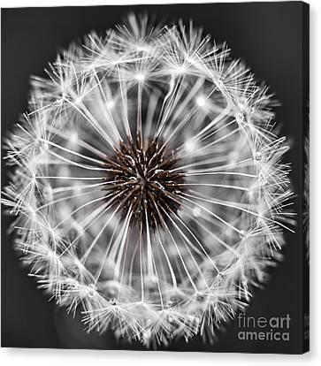 Dandelion Head Canvas Print by Elena Elisseeva