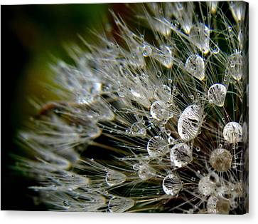 Dandelion Jewels Canvas Print by Suzy Piatt