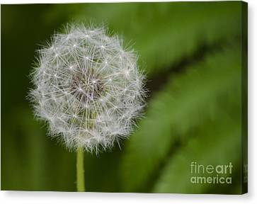 Dandelion Canvas Print by JRP Photography