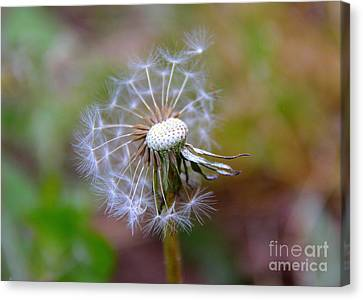 Canvas Print featuring the photograph Dandelion by Lisa L Silva