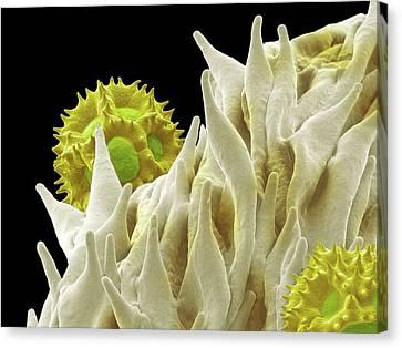 Dandelion Pollen Canvas Print