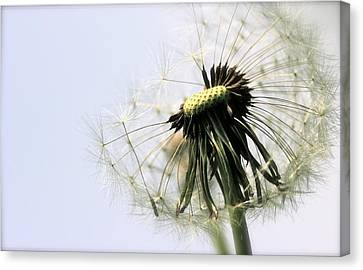 Dandelion Puff Canvas Print by Tracy Male