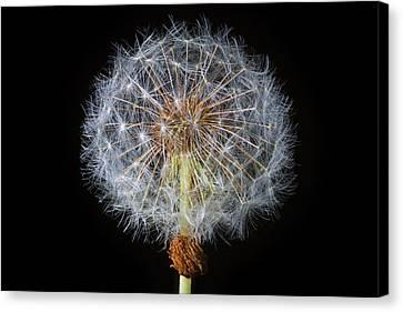 Dandelion Seed Ball Canvas Print
