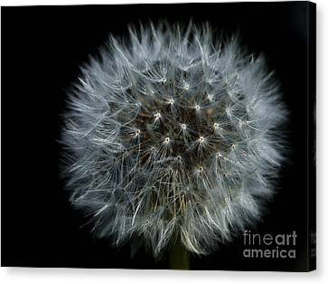 Dandelion Seed Head On Black Canvas Print by Sharon Talson