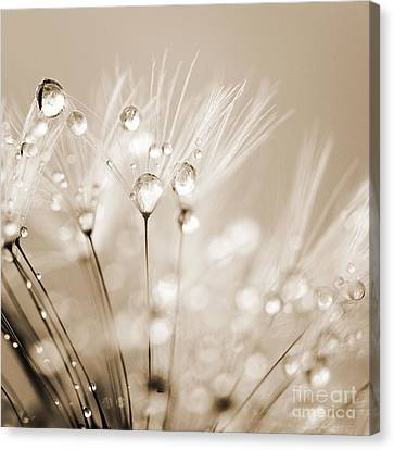 Dandelion Seed With Water Droplets In Sepia Canvas Print by Natalie Kinnear