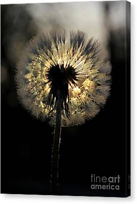 Dandelion Sunrise - 1 Canvas Print
