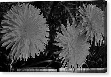 Canvas Print featuring the photograph Dandelion Weeds? B/w by Martin Howard