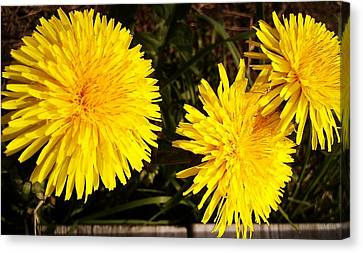 Canvas Print featuring the photograph Dandelion Weeds? by Martin Howard