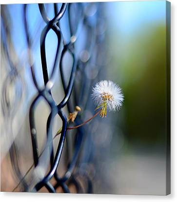 Dandelion Wish Canvas Print by Laura Fasulo