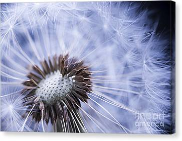 Dandelion With Seeds Canvas Print by Elena Elisseeva