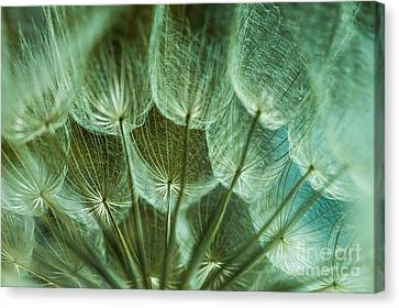 Dandelions 06 Canvas Print by Iris Greenwell