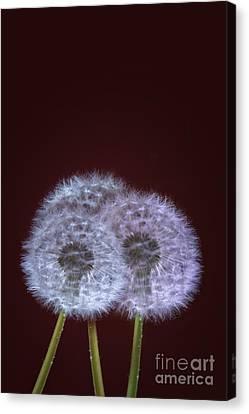 Dandelions Canvas Print by Donald Davis