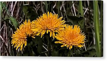 Dandelions In Group  By Leif Sohlman Canvas Print by Leif Sohlman
