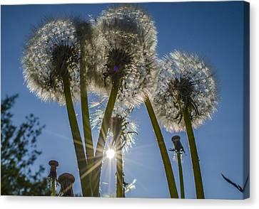 Dandelions In The Sun Canvas Print by Adam Budziarek