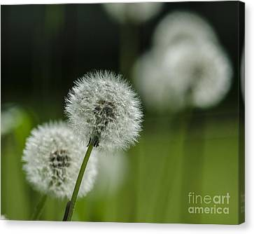 Dandelions  Canvas Print by JRP Photography
