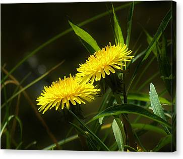 Canvas Print featuring the photograph Dandelions by Sherman Perry
