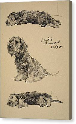Dandie Dinmont Puppies, 1930 Canvas Print by Cecil Charles Windsor Aldin