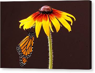 Dangling Monarch Canvas Print by Jean Noren