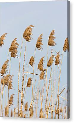 Flooding Canvas Print - Danube Delta, Reed From Last Year by Martin Zwick