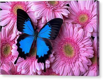 Butterflies Canvas Print - Dark Blue Butterfly by Garry Gay