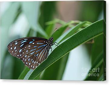 Dark Blue Tiger Butterfly #2 Canvas Print