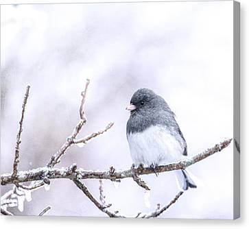 Dark Eyed Junco Canvas Print by Jon Woodhams