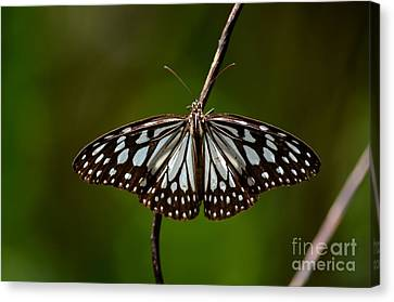 Dark Glassy Tiger Butterfly On Branch Canvas Print by Imran Ahmed