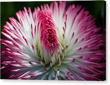 Dark Pink And White Spiky Petals Canvas Print by Jordan Blackstone