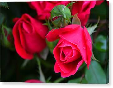 Dark Pink Roses #1 Canvas Print
