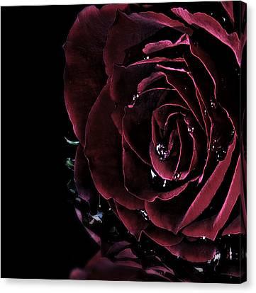 Dark Rose 2 Canvas Print by Ann-Charlotte Fjaerevik