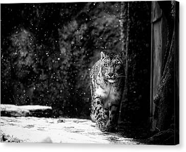 Snow Leopards Canvas Print - Dark Side by David Williams