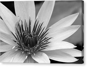 Canvas Print featuring the photograph Dark Throated Beauty I by Dawn Currie