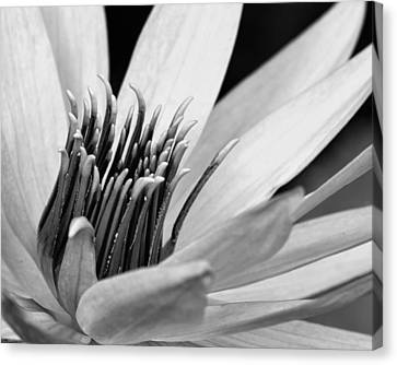 Canvas Print featuring the photograph Dark Throated Beauty IIi by Dawn Currie