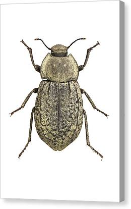 Cut-outs Canvas Print - Darkling Beetle by F. Martinez Clavel