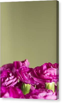 Darling Dianthus Canvas Print by Anne Gilbert