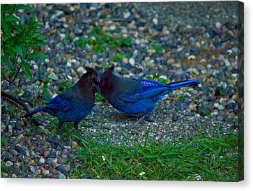 Darling I Have To Tell You A Secret-sweet Stellar Jay Couple Canvas Print