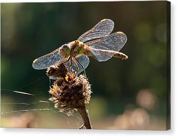 Darter Dragonfly (sympetrum Sp.) Canvas Print by Dr. John Brackenbury