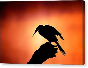 Darter Silhouette With Misty Sunrise Canvas Print by Johan Swanepoel