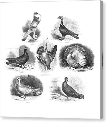 Darwin On Pigeon Evolution Canvas Print by Natural History Museum, London