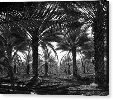 Date Palms Canvas Print by Georgia Fowler