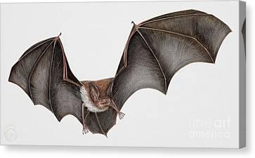 Daubentons Bat Myotis Daubentonii - Murin De Daubenton-murcielago Ribereno-vespertilio Di Daubenton Canvas Print by Urft Valley Art