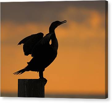 Phalacrocorax Auritus Canvas Print - Dawn Double-crested Cormorant by Tony Beck